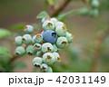ブルーベリー 青い実 (6月) 42031149