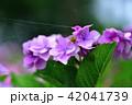 花 紫陽花 昆虫の写真 42041739