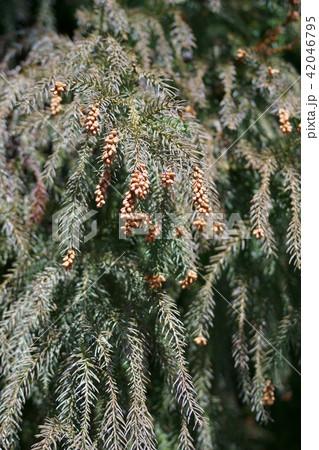 杉の花芽 花言葉は「君のために生きる」 42046795