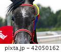 Grey arabian horse mare portrait. 42050162