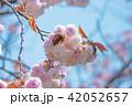 八重桜 桜 開花の写真 42052657