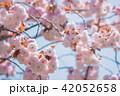 八重桜 桜 開花の写真 42052658