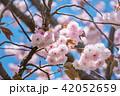 八重桜 桜 開花の写真 42052659