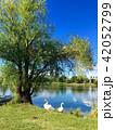 白鳥 鳥 湖の写真 42052799