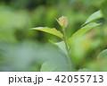 新芽 新葉 アップの写真 42055713