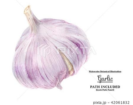 Watercolor garlic bulb 42061832