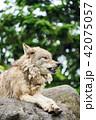 シンリンオオカミ 旭山動物園 狼の写真 42075057