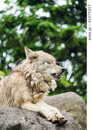 旭山動物園のシンリンオオカミ 42075057