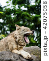 シンリンオオカミ 旭山動物園 狼の写真 42075058