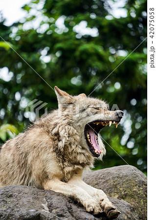 旭山動物園のシンリンオオカミ 42075058