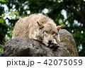 シンリンオオカミ 旭山動物園 狼の写真 42075059