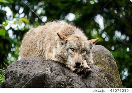 旭山動物園のシンリンオオカミ 42075059
