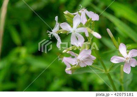 多くは薄ピンクの花。ソープワートとも呼ばれ、名前の由来は葉を水に浸してもむと泡立ちます。 42075181