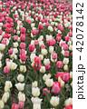 吉田公園のチュウリップ畑 42078142