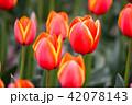 吉田公園のチュウリップ畑 42078143