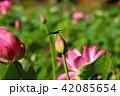 蓮の花 蓮 花の写真 42085654