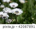 花 白 アークトチスの写真 42087891