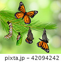 A Set of Butterfly Life Cycle 42094242