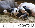 寝る子豚 42097218