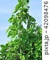 ゴーヤ 栽培 花の写真 42098476