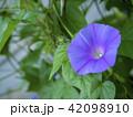 朝顔 植物 夏の写真 42098910