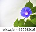 朝顔 植物 夏の写真 42098916