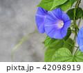朝顔 植物 夏の写真 42098919