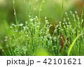水滴 雫 朝露の写真 42101621