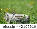 ひばり 鳥 野鳥の写真 42109910