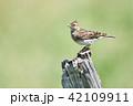 ひばり 鳥 野鳥の写真 42109911