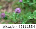 花 クローバー 赤クローバーの写真 42111334