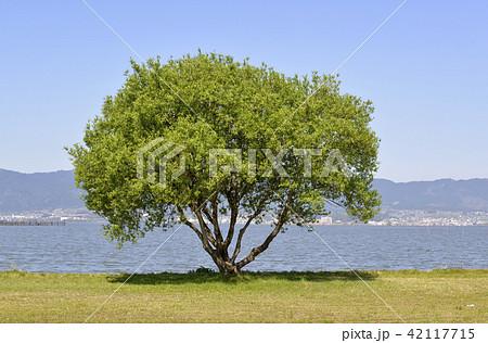 琵琶湖 一本の木 42117715
