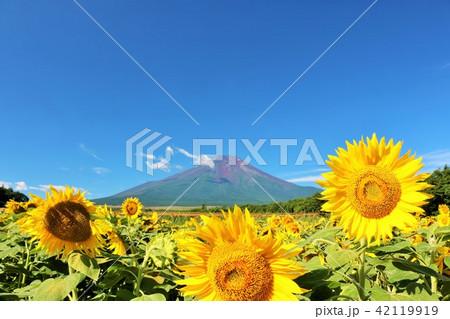 夏を彩る青空とひまわり そして富士山 42119919