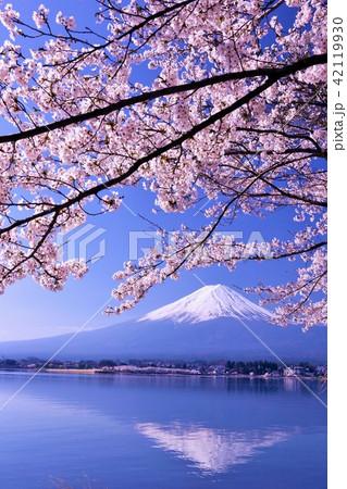 春を彩る逆さ富士と桜 42119930
