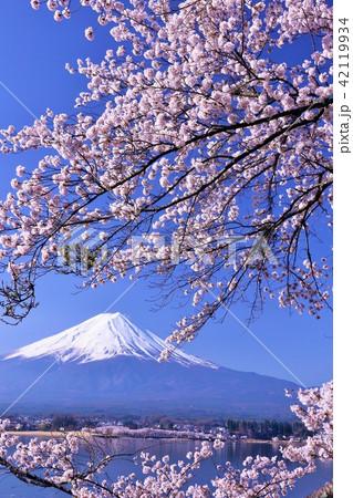 春を彩る富士山と桜 42119934