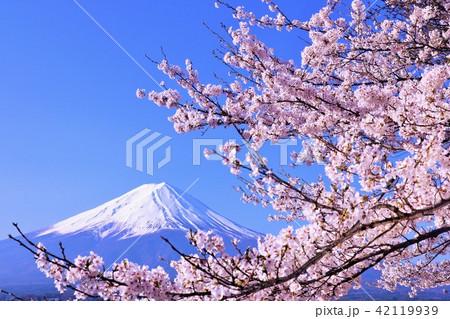 春を彩る富士山と桜 42119939