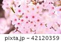 桜 花 春の写真 42120359