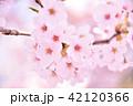 桜 花 春の写真 42120366