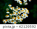 植物 花 野草の写真 42120592