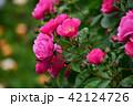 アンジェラ 薔薇 バラの写真 42124726