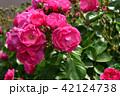薔薇 バラ アンジェラの写真 42124738