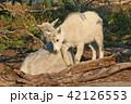 動物 ヤギ 柳木の写真 42126553