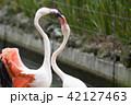 フラミンゴ 鳥 水鳥の写真 42127463