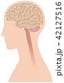 脳 大脳 横向きのイラスト 42127516
