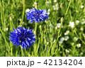 花 コーンフラワー ヤグルマギクの写真 42134204