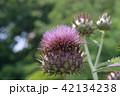 カルドン 植物 キク科の写真 42134238