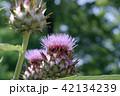 カルドン 植物 キク科の写真 42134239