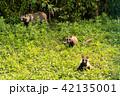 タヌキ親子 42135001