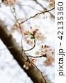 桜 ソメイヨシノ 春の写真 42135360