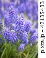 ムスカリ 花 紫の写真 42135433